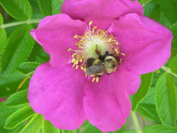 A beach rose with a visiting bumblebee.
