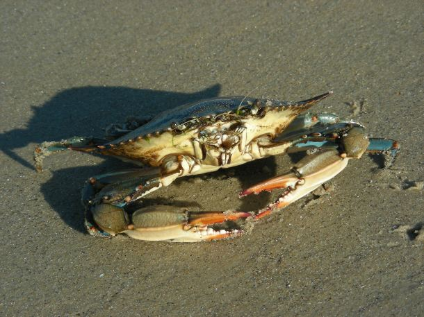 Blue shell crab.
