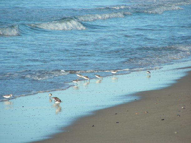 A flock of sandpipers and one piping plover.