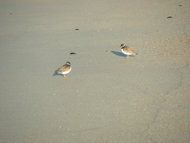 Piping plovers - their nesting areas are protected.